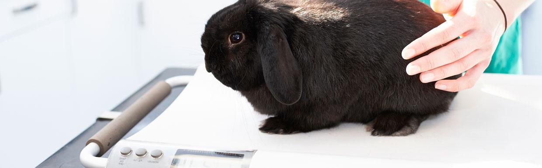 Neutering your rabbit